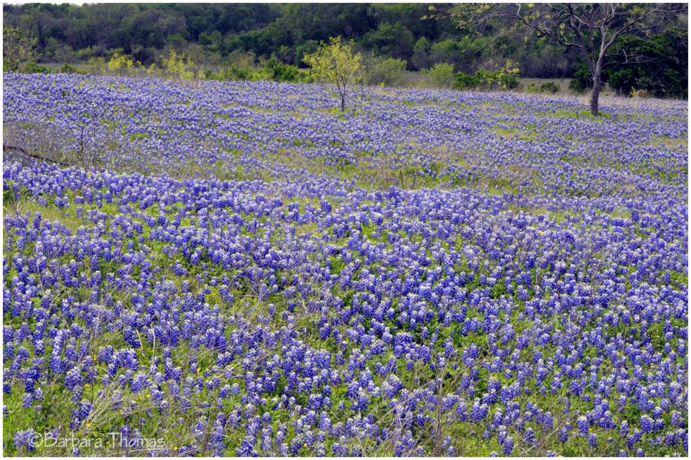 Sea of Blue(bonnets)