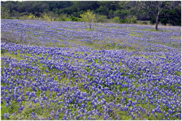 Sea of Blue(bonnets)
