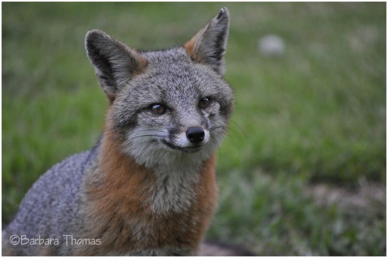 Nacho, The Fox