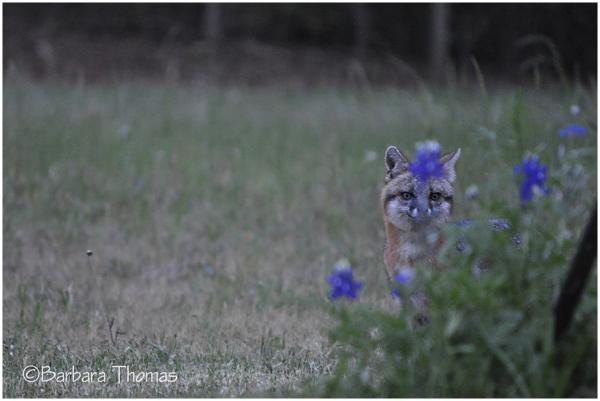 ST - Camouflage Fox