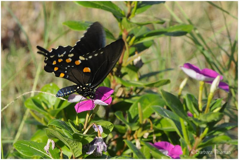 Swallowtail -1