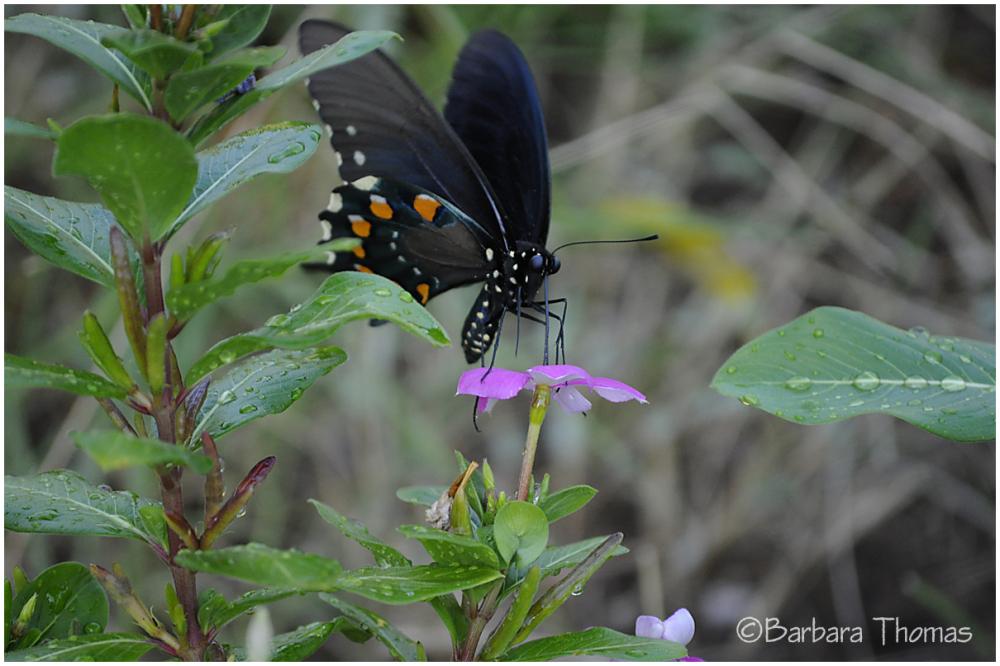 Swallowtail -2