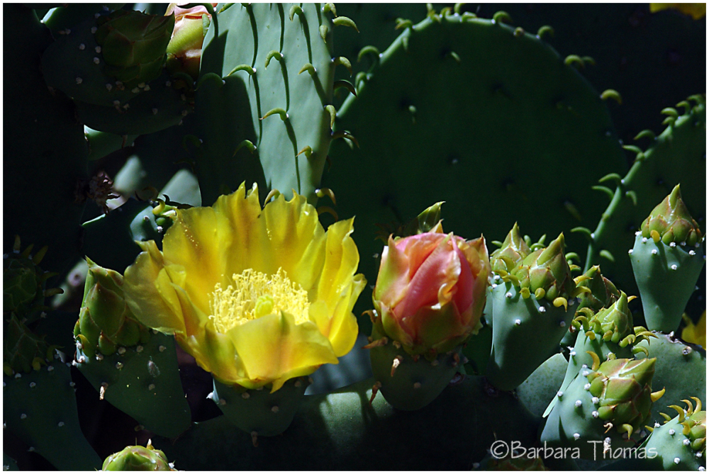 Yellow Prickly Pear  In Bloom