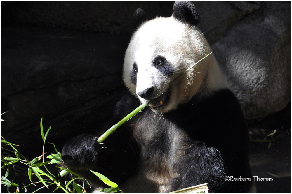 Lunch With A Panda