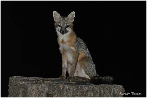 Night Watch Fox
