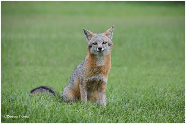 Fantastic Fox!