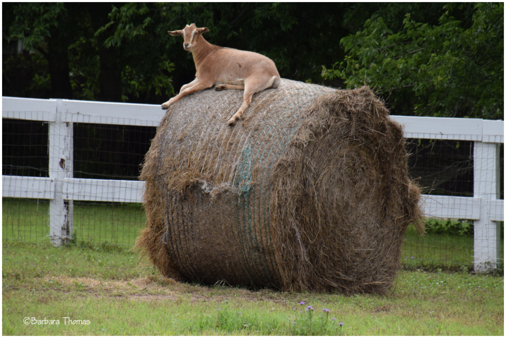 Hey, Goat!