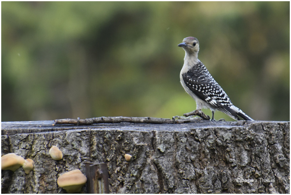 Young Woodpecker