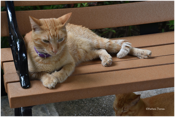 Hemingway Cat - 1
