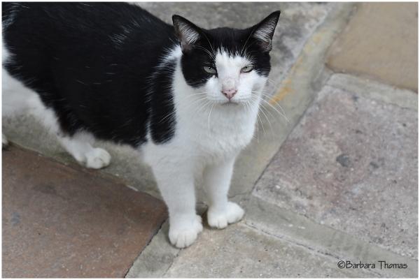 Hemingway Cat - 2