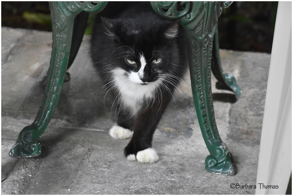 Hemingway Cat - 4