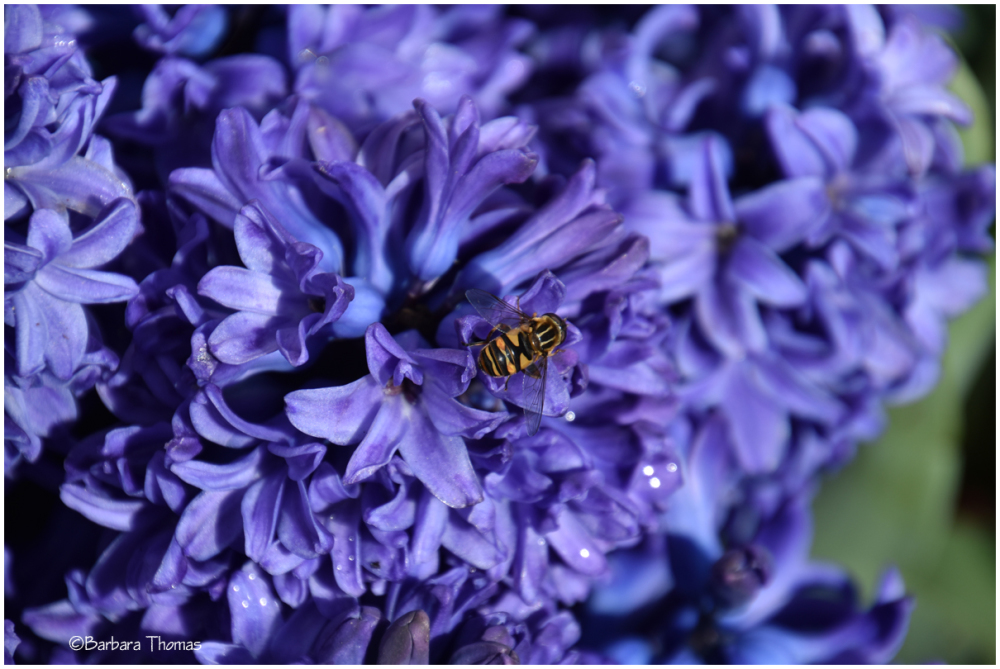 Hyacinth And Bee