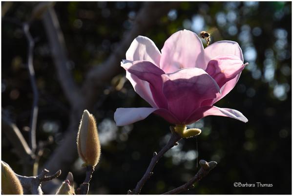 Saucer Magnolia