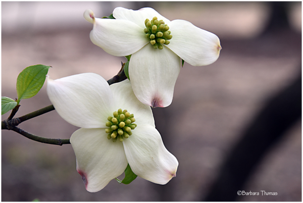 Legend Of Dogwood Flower