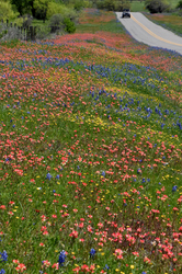 Texas Wildflowers!