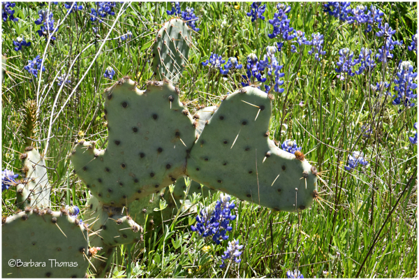 Do You ❤ Prickly Pear Cactus?