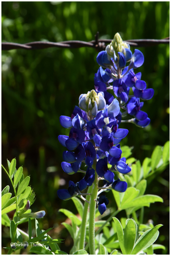 Bluebonnets & Barb Wire - 2