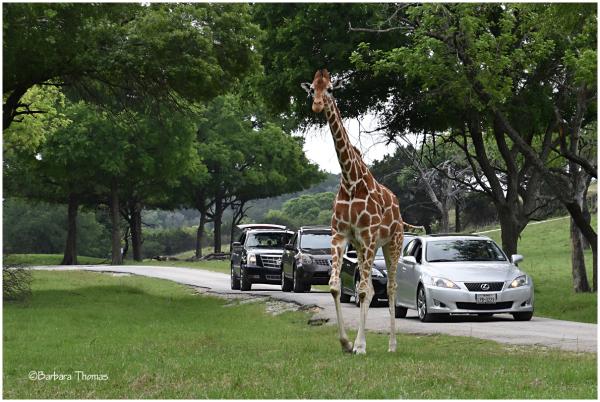 Drive-by Giraffe