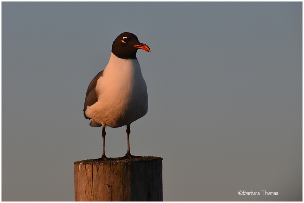 Black-headed Gull Sitting