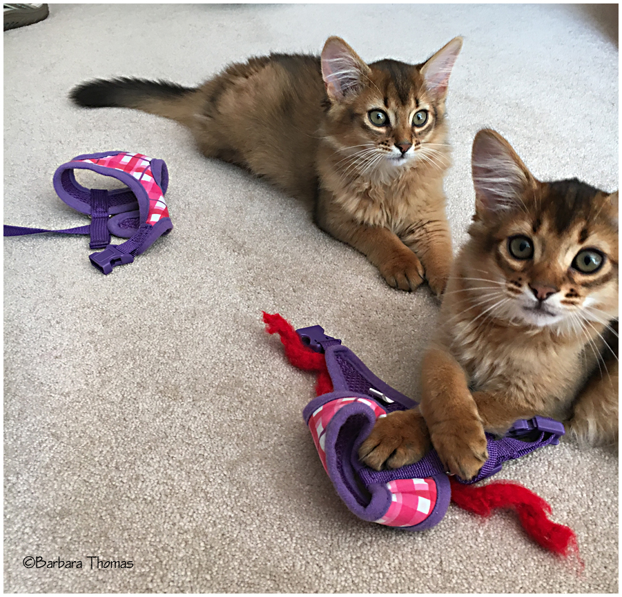 Somali Kittens Nikon and Rocky