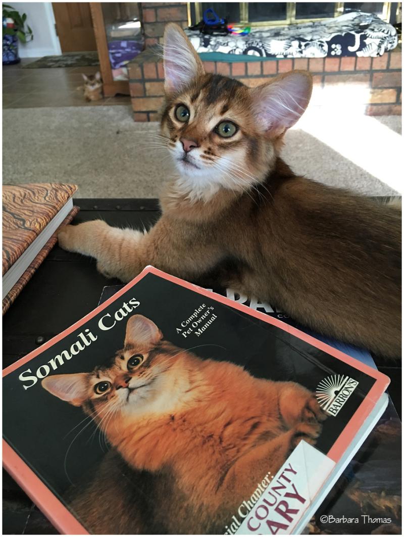 Somali Cat Owner