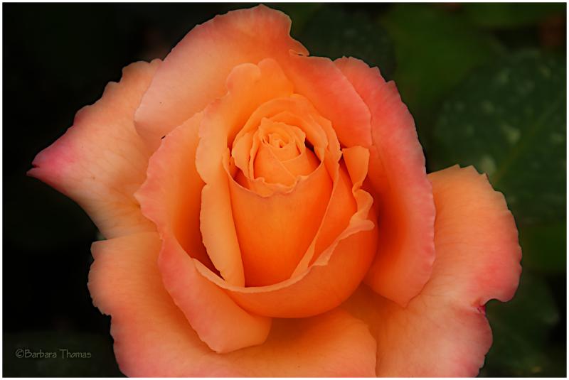 Orton Rose