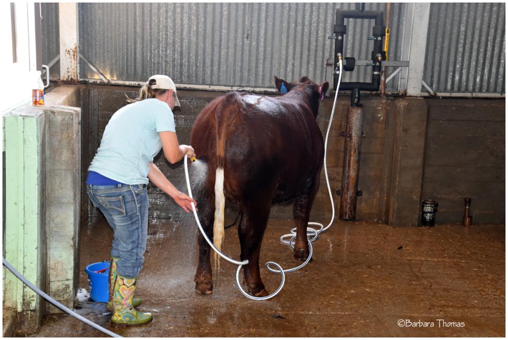 Cow Wash