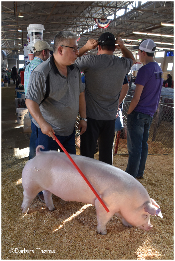Walking A Pig