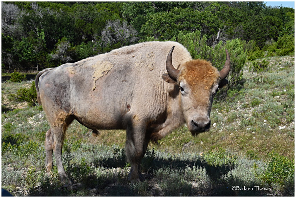 "White ""Buffalo"""