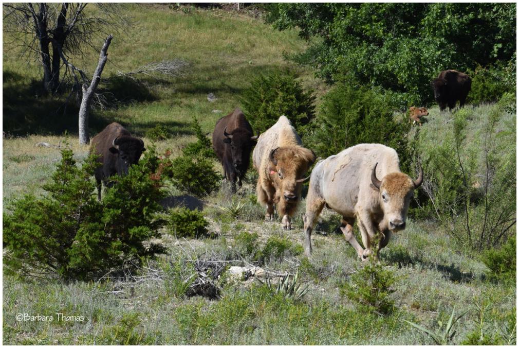 White Buffalo (Bison)