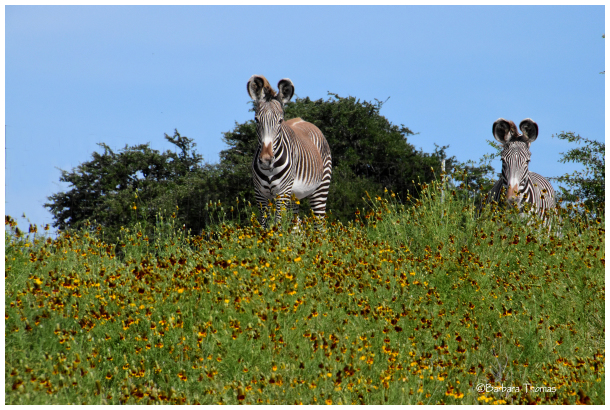 Zebras And Wildflowers