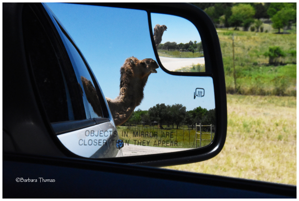 Camel In My Rearview Mirror