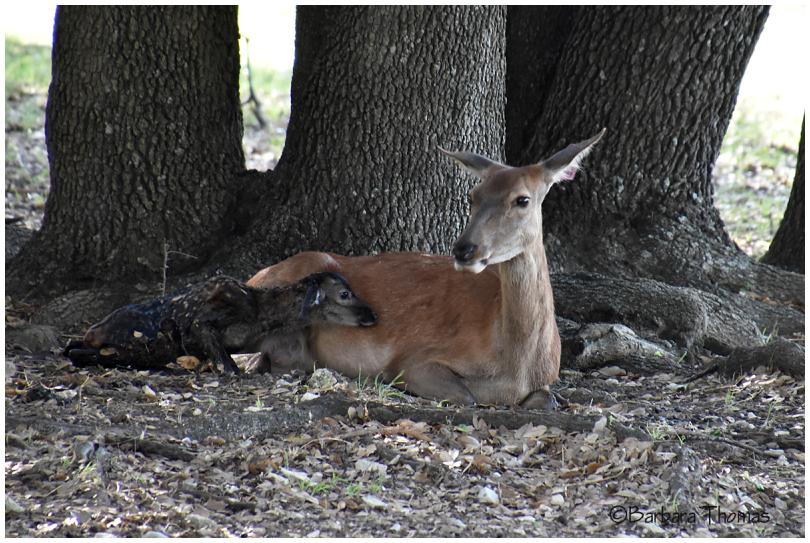 Newborn Red Deer