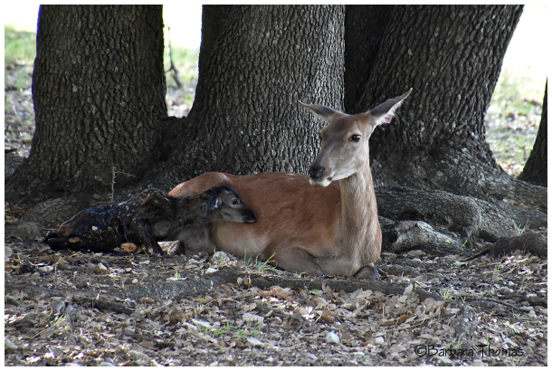 Newborn Red Deer