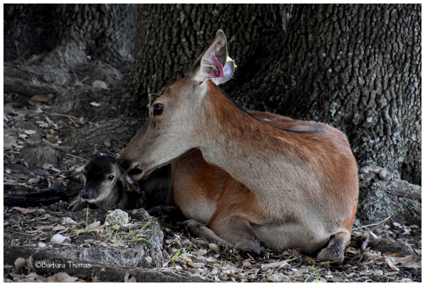 Newborn Red Deer - 2