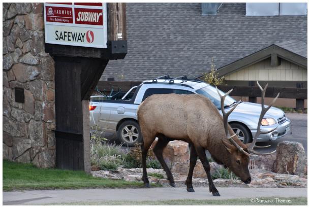 Where Do Elk Shop?