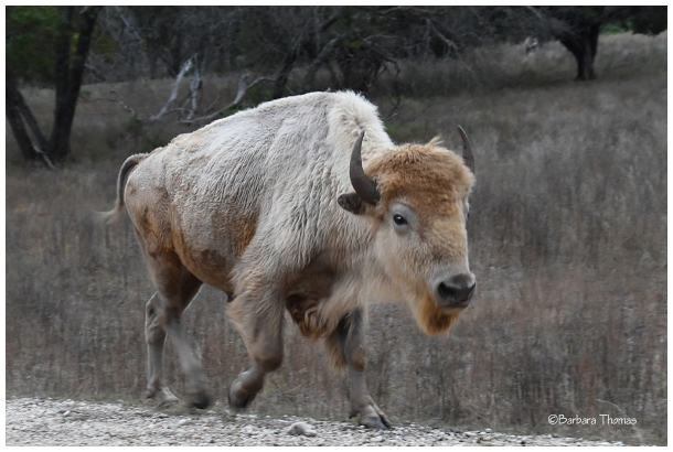 White Buffalo (Bison)