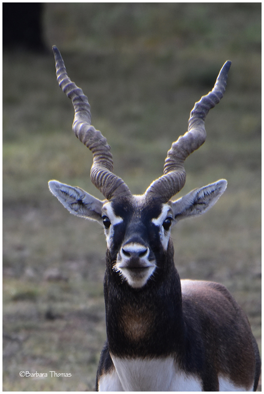 Male Blackbuck Antelope