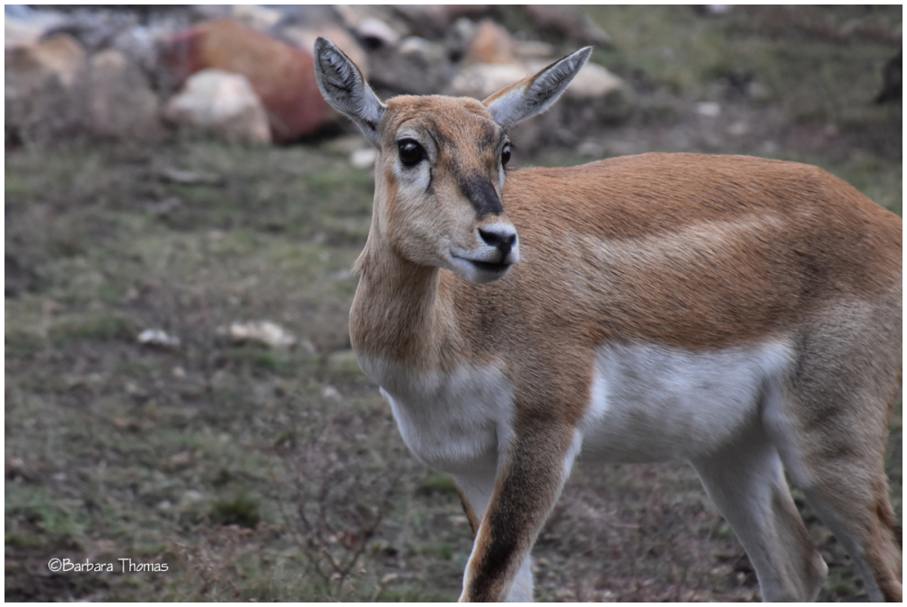 Blackbuck Antelope - Female