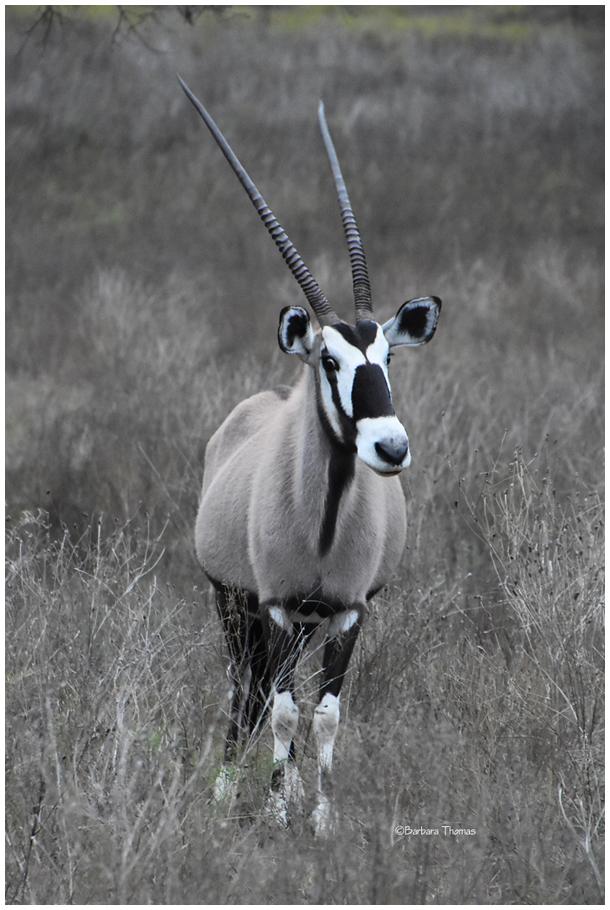 Gemsbok Oryx