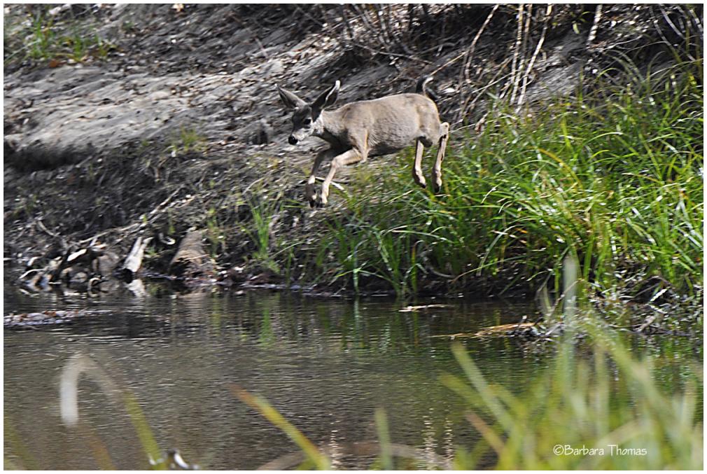 Diving Deer