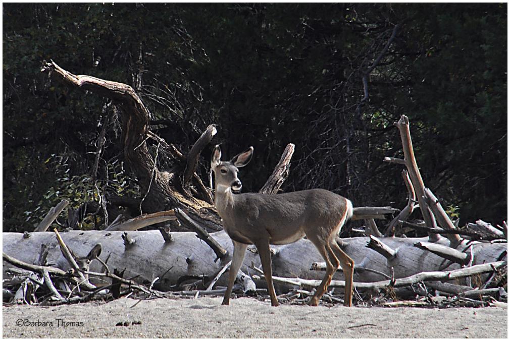 Doe, A Deer...