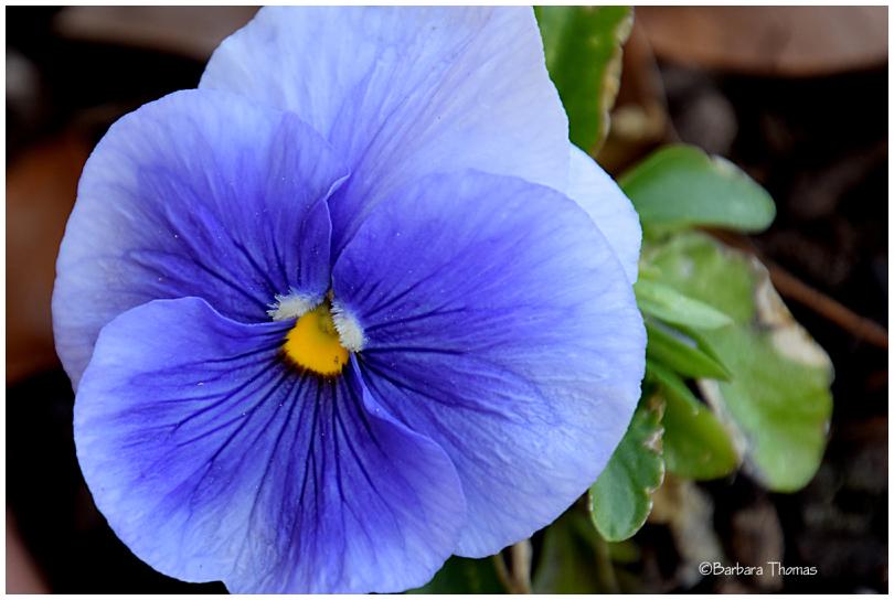 Purple Pansi
