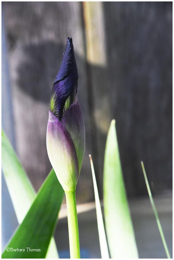 More Iris To Come