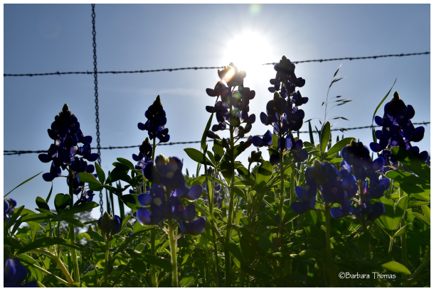 Bluebonnet and Barbwire