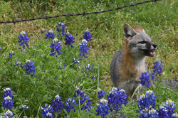 Cookie In The Bluebonnets