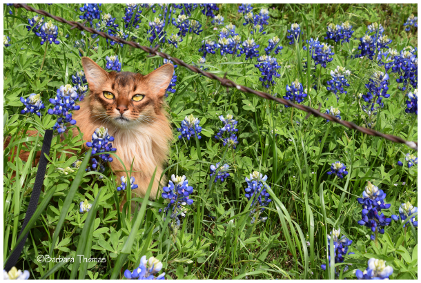 Nikon And Bluebonnets