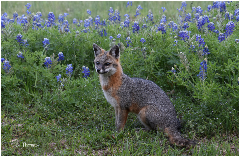 Fox In The Bluebonnets