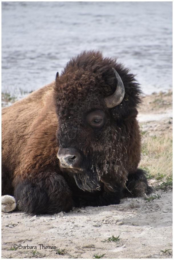 Where The Deer And Buffalo Roam