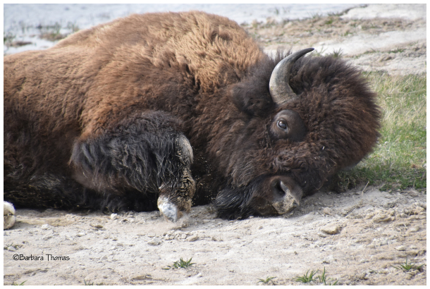 Resting Buffalo (Bison)